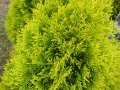 14_Lebensbaum_thuja-occidentalis-golden-smaragd-nadel