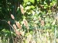 02_Vermeintliches_Pennisetum_Little_Bunny
