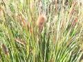 03_Vermeintliches_Pennisetum_Little_Bunny