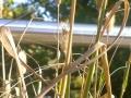05_Vermeintliches_Pennisetum_Little_Bunny