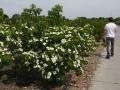 07 Cornus kousa 'Schmetterling'  Japanischer Blumen-Hartriegel