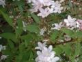 09 Deutzia rosea  Rosa Glöckchen-Deutzie