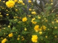 15 Kerria japonica 'Pleniflora'  Gefüllter Ranunkelstrauch