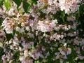 17 Kolkwitzia amabilis  Kolkwitzie  Perlmuttstrauch