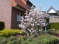 18 Magnolia soulangiana  Tulpen-Magnolie