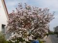 19 Magnolia soulangiana  Tulpen-Magnolie