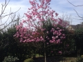 20 Magnolia soulangiana 'Heaven Scent'  Tulpen-Magnolie 'Heaven Scent'