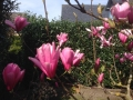 21 Magnolia soulangiana 'Heaven Scent'  Tulpen-Magnolie 'Heaven Scent'