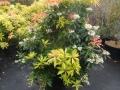 22 Pieris japonica 'Forest Flame'  Japanische Lavendelheide 'Forest Flame'