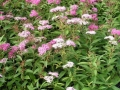 23: Spiraea japonica 'Shirobana' / Japan-Spiere 'Shirobana'