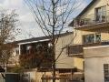 05_Sophora japonica  Japanischer Schnurbaum