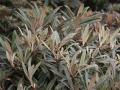 09_Rhododendron yakushimanum Makiyak
