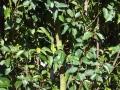 Kirschlorbeer / Prunus mit Schrottschuss