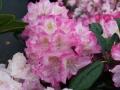 03_Rhododendron_mit_zartrosa_Bluete