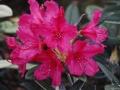 07_Rhododendron_mit_Bluetenfarbe_dunkel-roaserot