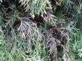 Thuja Smaragd mit schwarzen Verfärbungen - Pilzerkrankung