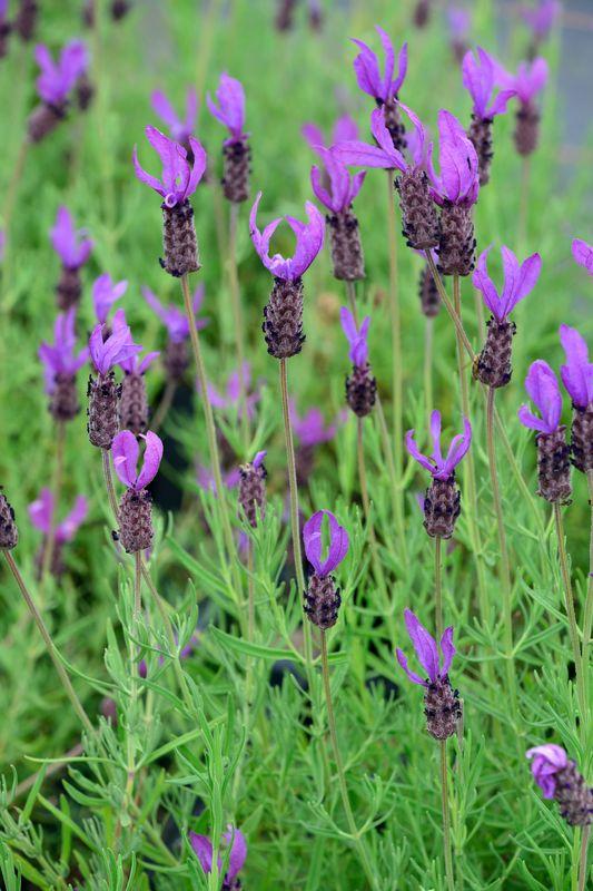 08_Lavandula stoechas 'Purple Wings' Französischer Lavendel Schmetterlings Lavendel Spanischer Lavendel