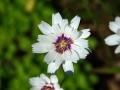 02_Catananche caerulea 'Alba' Weiße Rasselblume