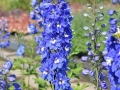 03_Delphinium cultorum 'Pacific Blue Bird' Rittersporn