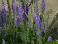 10_Veronica spicata 'Romiley Purple' Ehrenpreis