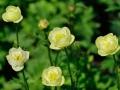 11_Trollius x cultorum 'Alabaster' Garten-Trollblume