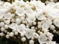09_Kalmia latifolia Snow Drift_Lorbeerrose_Berglorbeer_Snow Drift