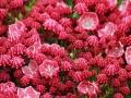 10_Kalmia latifolia Sarah_Lorbeerrose_Berglorbeer_Sarah