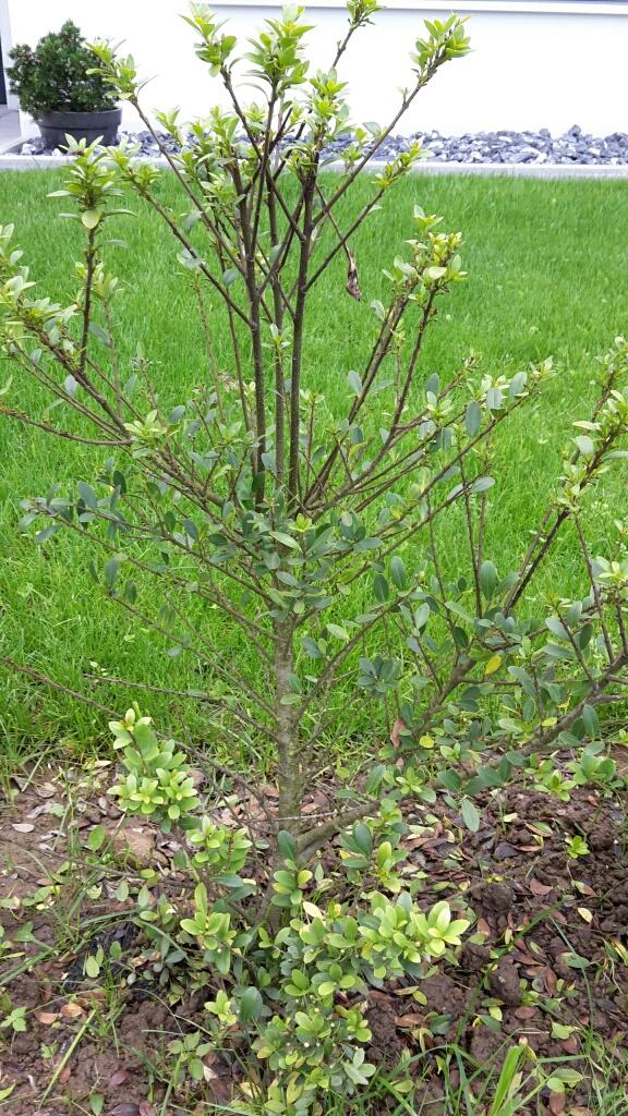 Glanzmispel Verliert Blätter ilex crenata green verliert blätter ursachen und
