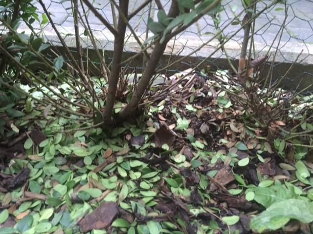 Glanzmispel Verliert Blätter ilex crenata bekommt verliert blätter was soll ich unternehmen