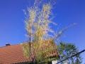 01_Tamariske Tamarix mit gelben Blaettern (2)