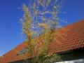 03_Tamariske Tamarix mit gelben Blaettern (3)