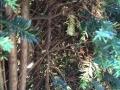 Taxus Baccata mit braunen Nadeln