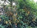 Prunus_Angustifolia_Blaetter_gelb (1)