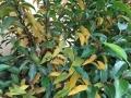 Prunus_Angustifolia_Blaetter_gelb (3)