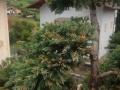 Gartenbonsai_Juniperus_Wacholder (1)