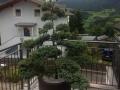 Gartenbonsai_Juniperus_Wacholder (2)