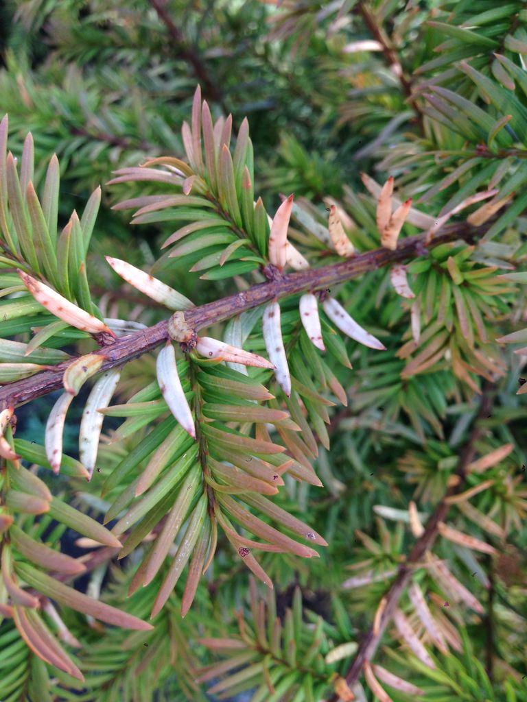 Außergewöhnlich Nadeln von Taxus Baccata verbräunen – was können die Ursachen sein @FQ_31