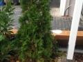 Thuja_Lebensbaeume_braun_Nadeln_Einpflanzen (1)