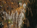Pfeilbambus_Pseudosasa_japonica-braun (4)