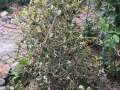 Ilex_Golden_King_trockene_Blaetter (1)