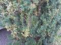 Taxus / Eibe mit gelben Nadeln