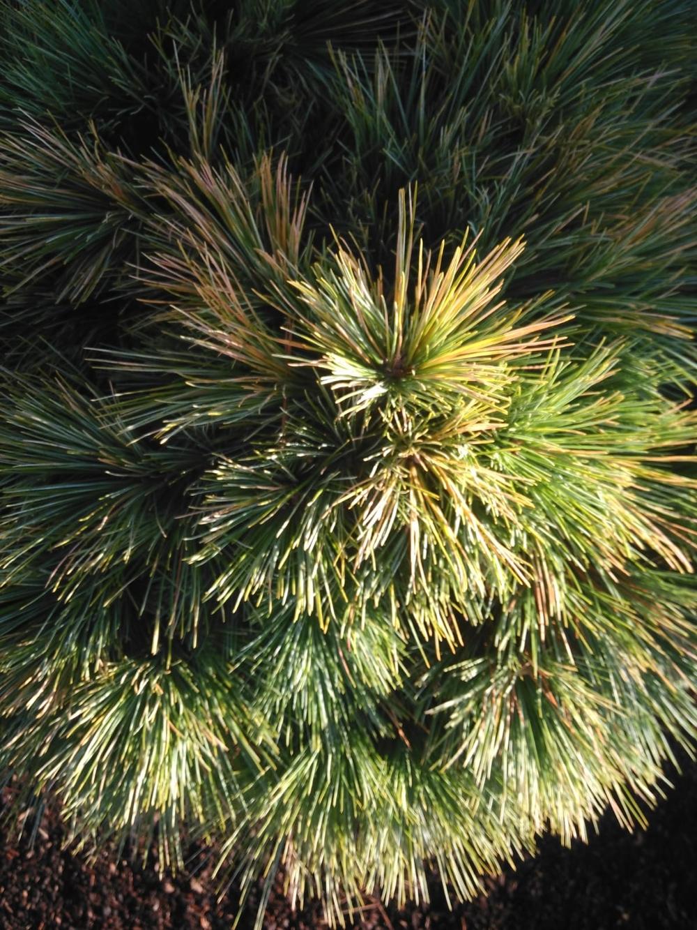Gartenbonsai_Pinus_Strobus_Radiata (2)