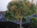 Gartenbonsai_Pinus_Strobus_Radiata (3)