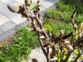 Knospen der Magnolie werden schwarz
