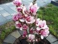 Magnolie blüht im Frühjahr