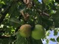 Apfel mit Fruchtfäule Monilia