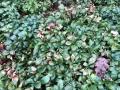 Volutella_Pilz_Dickmaennchen_Pachysandra terminalis Green Carpet_1