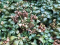 Volutella_Pilz_Dickmaennchen_Pachysandra terminalis Green Carpet_2
