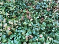 Volutella_Pilz_Dickmaennchen_Pachysandra terminalis Green Carpet_3