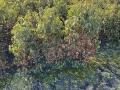 Frostschaden an Kirschlorbeer Angustifolia
